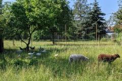 helenes-ferienwohnung-lausitzer-seenland-schaf-berta-elfriede-4