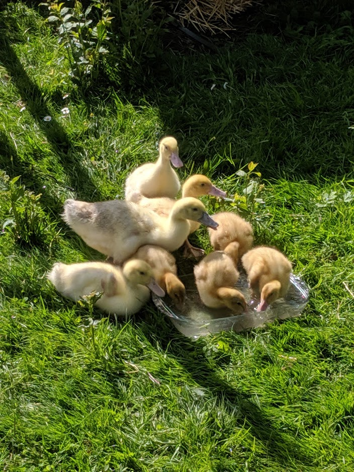 Neue Enten im Garten unserer Ferienwohnung im Lausitzer Seenland